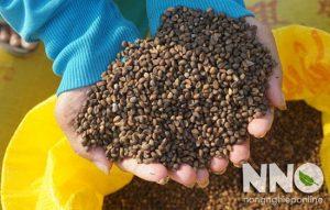 Cách gieo hạt rau muống
