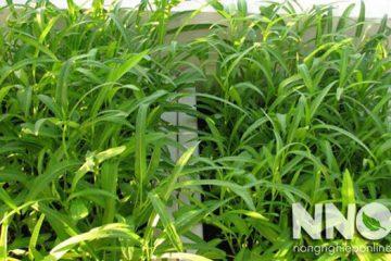 Cách trồng rau muống hạt trong thùng xốp tại nhà cực dễ