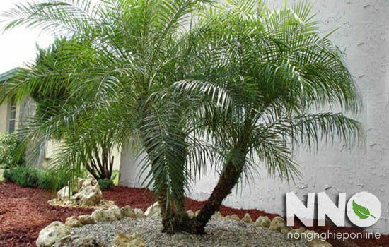 cây phong thủy trồng trước nhà