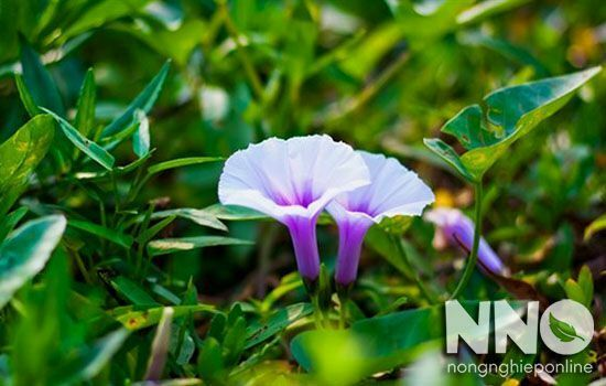 Hoa rau muống