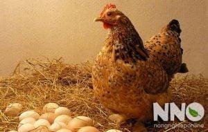 Trứng gà ấp bao nhiêu ngày thì nở