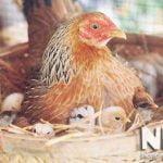 Trứng gà tre ấp bao nhiêu ngày