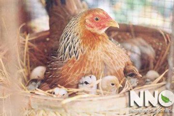 Cách ấp trứng gà tự nhiên bằng gà mái đúng kỹ thuật cho tỉ lệ nở cao