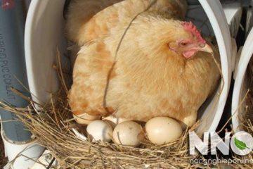 Nhiệt độ ấp trứng gà bao nhiêu, những thông tin cần biết