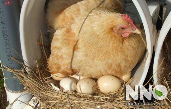 Cách ấp trứng gà tự nhiên bằng gà mái