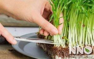 Thu hoạch rau muống mầm