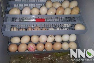 Máy ấp trứng tự đảo, nên chọn máy đảo nghiêng hay đảo lăn