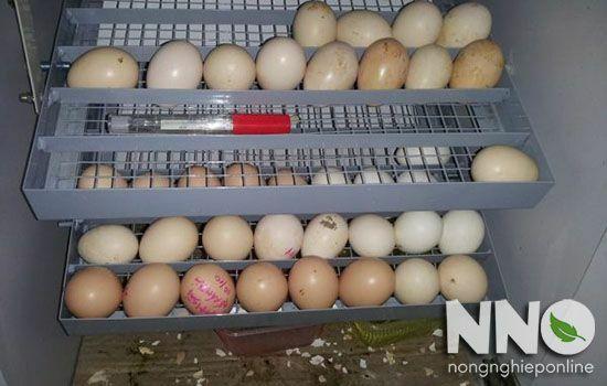 Ấp trứng gà bằng máy