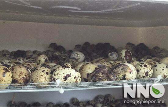 Ấp trứng chim cút