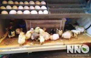 Ấp trứng gà