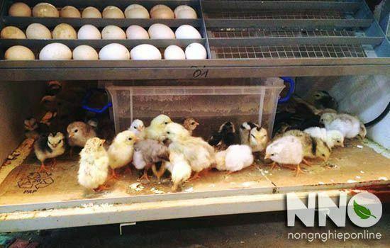 Kỹ thuật ấp trứng gà bằng máy ấp trứng cho tỉ lệ nở cao