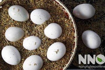 Cách ấp trứng gà bằng trấu, nguyên lý ấp và cách thực hiện
