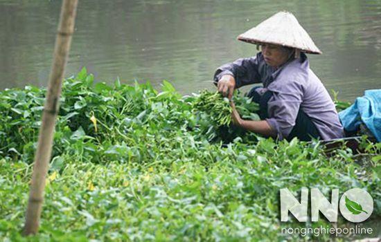 Rau muống trồng trong nước