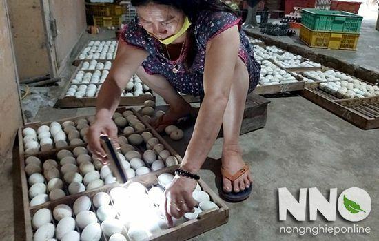 Soi trứng vịt định kỳ