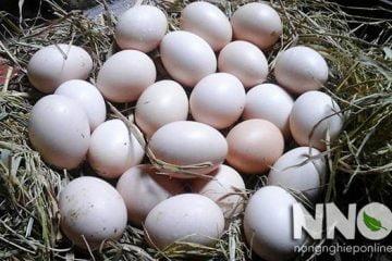 4 Cách ấp trứng gà thủ công không cần máy ấp trứng