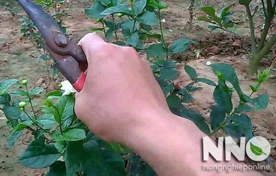 Cắt cành hoa nhài để trồng