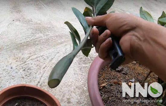 Hướng dẫn cách trồng cây kim tiền bằng nhiều phương pháp