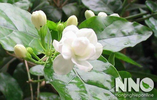 Cách chăm sóc cây hoa nhài ta