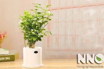 Trồng hoa nhài trong nhà, nên hay không nên