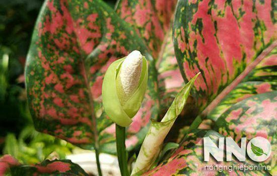 Cây vạn lộc đỏ ra hoa