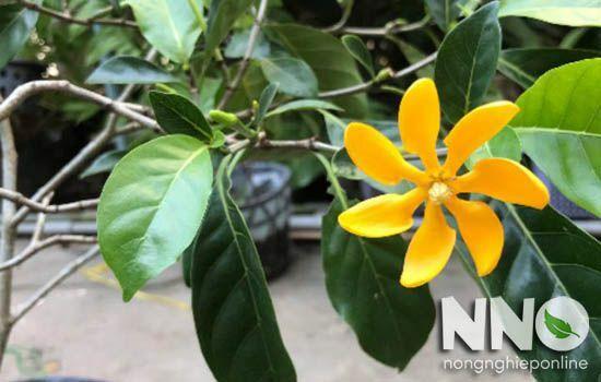 Tìm hiểu về ý nghĩa của hoa nhài, loài hoa với hương thơm quyến rũ