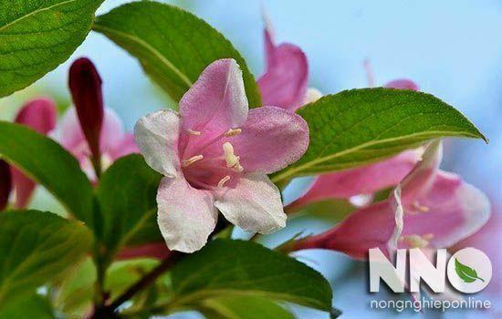 Hoa nhài màu hồng