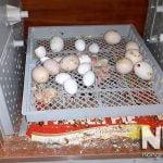 Máy ấp trứng mini 200 trứng Mactech