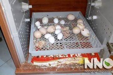Có nên mua máy ấp trứng cũ hay không, vài lời khuyên từ NNO