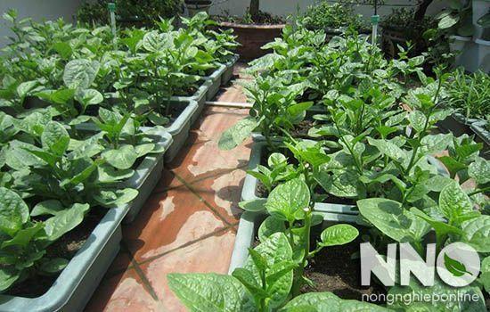 Thời điểm gieo trồng và thu hoạch rau mồng tơi