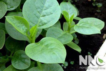 Hướng dẫn cách trồng rau mồng tơi trong thùng xốp