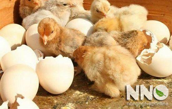 Trứng gà ấp không nở