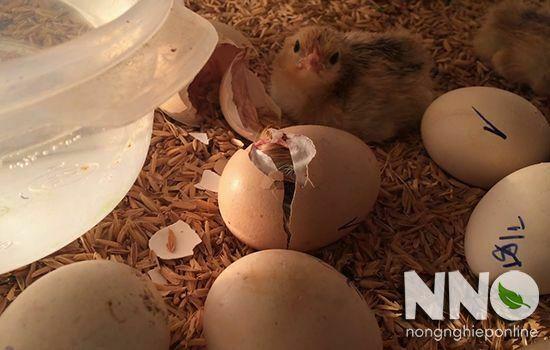 Trứng gà bị sát vỏ khi nở