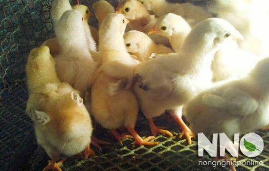 Cách úm gà con mới nở
