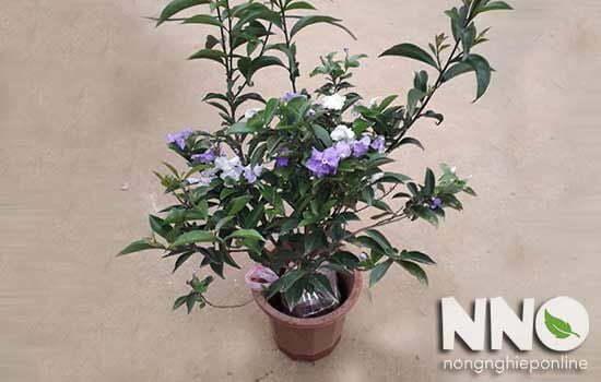 Hướng dẫn cách trồng và chăm sóc hoa nhài Nhật