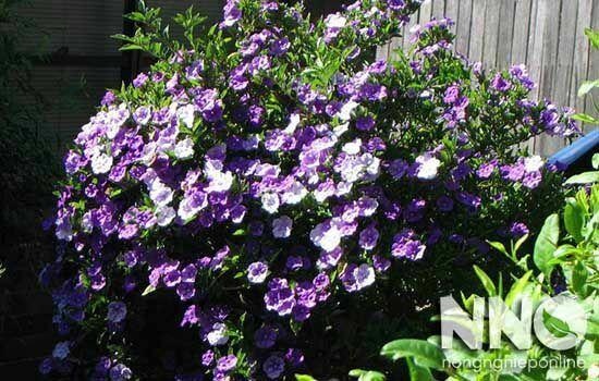 Hoa nhài Nhật nở vào mùa nào trong năm
