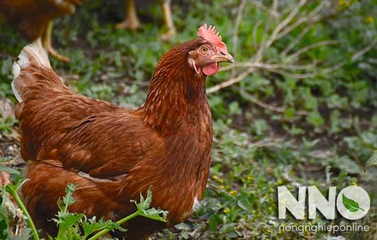 Gà đẻ bao nhiêu trứng thì ấp? Gà đẻ bao nhiêu trứng 1 năm