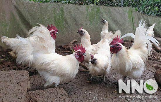 Gà ác nuôi bao lâu thì đẻ trứng? Trứng gà ác nặng bao nhiêu gam