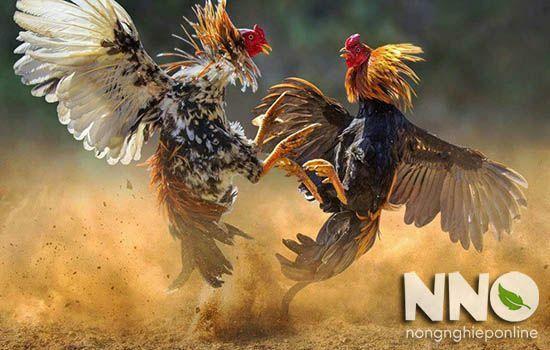 Gà ta là gà gì? Có bao nhiêu loại gà ta ở Việt Nam
