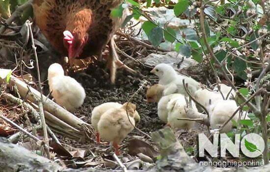 Gà nuôi con bao lâu thì đẻ trứng tiếp