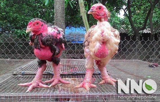 Gà Đông Tảo đẻ bao nhiêu trứng 1 năm? Sản lượng trứng nhiều hay ít
