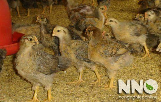 Gà Lương Phượng đẻ bao nhiêu trứng 1 năm