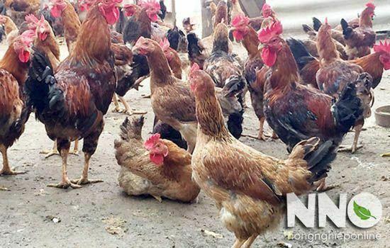 Gà mía nuôi bao lâu thì đẻ trứng? Trứng gà mía nặng bao nhiêu gam