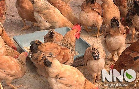 Gà Tam Hoàng nuôi bao lâu thì đẻ trứng