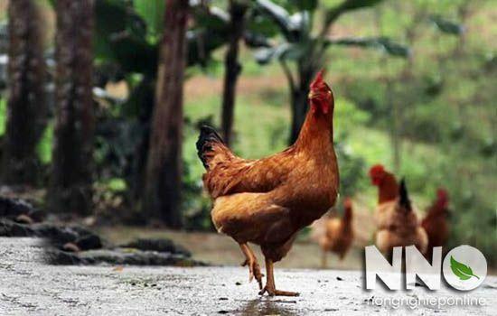 Gà mái ghẹ là gì? Phân biệt gà mái ghẹ và gà mái tơ