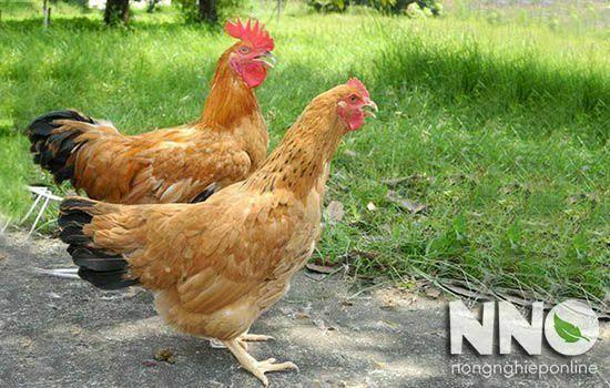 Gà Tàu Vàng đẻ bao nhiêu trứng 1 năm? Hỏi đáp từ NNO