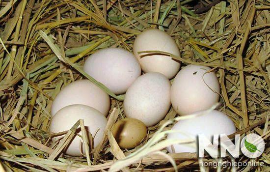 Trứng gà con so là gì
