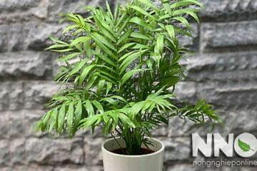 Cây cau tiểu trâm có độc không? Có nên trồng trong nhà không