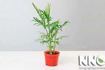 Cây cau tiểu trâm bị vàng lá, héo lá là tại sao và cách chữa