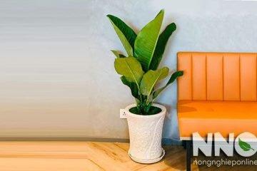 Phong thủy cây đại phú gia khi trồng trong nhà, cát hay hung