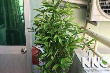 Cách trồng và chăm sóc cây trúc nhật đúng cách tại nhà